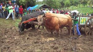 Les courses de boeufs tirants (Guadeloupe)