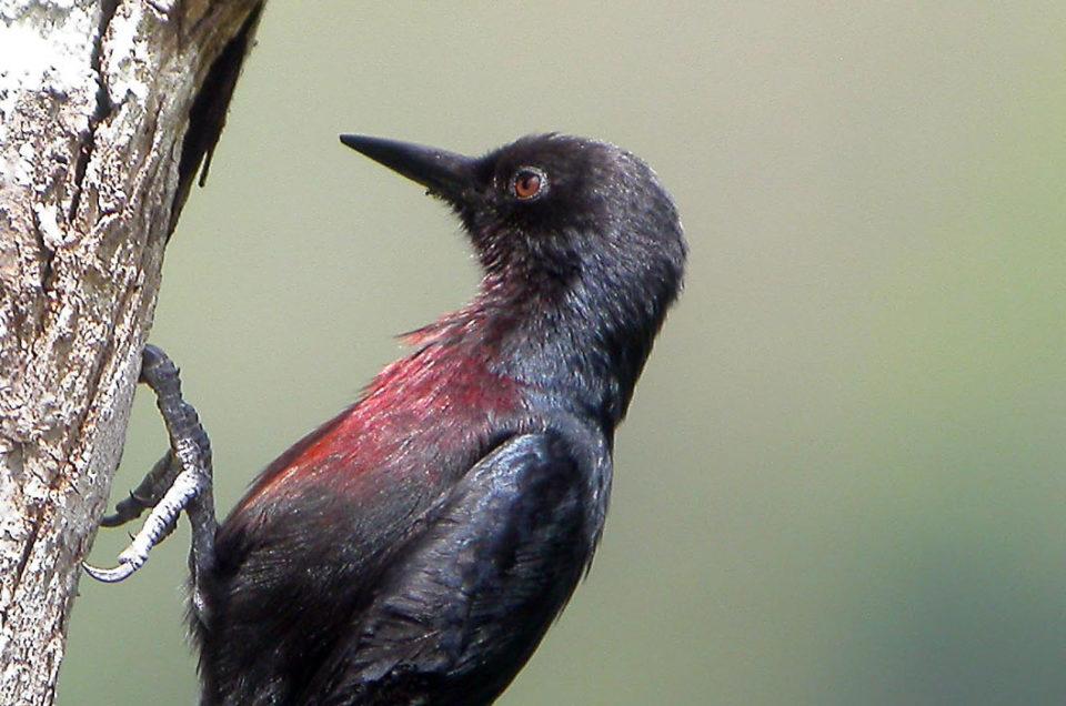 Le Pic de Guadeloupe: oiseau endémique de l'île