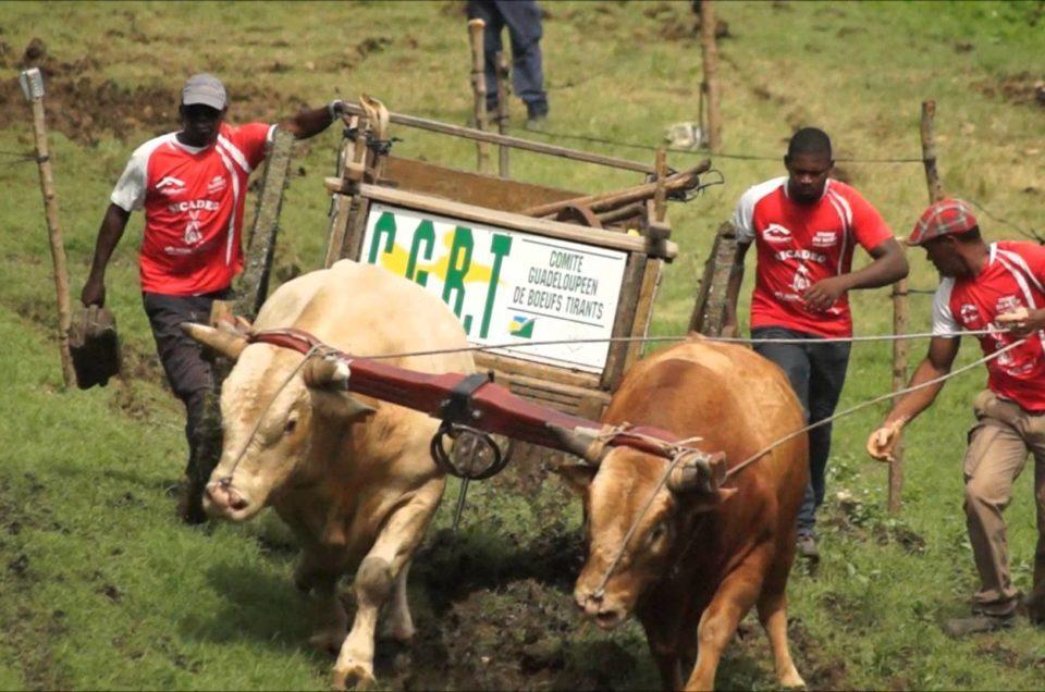 Découvrez le calendrier 2018 des Courses de bœufs Tirants en Guadeloupe